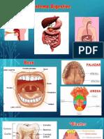 Sistema Digestive.pptx