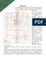 METABOLISMO - Glicolisis