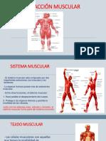2.Contraccióm Muscular