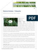 Datura Innoxia - Toloache - Entheology.com