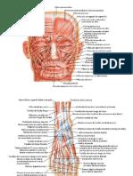 Atlas de músculos.pdf