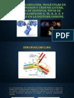 EXPO Inmunoglobulinas, molécula en cadena pesada y cadena.pptx