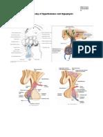 Anatomy of Hypothalamus and Hypophysis