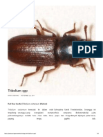 Tribolium Spp _ Biologi, Siklus Hidup, Ekologi Serta Kepentingan Ekonomi