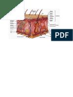 anatomi kulit.docx