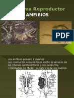 Sistema Reproductor Anfibios
