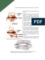 Anatomia Region Labial