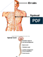 Spinal Cord and Spinal Nerves - Copy
