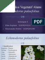 Reproduksi Vegetatif Alami Echinodorus Palaefolius