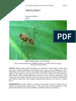 Scytodes_longipes - Spitting Spider-converted
