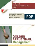 Golden Apple Snails Management