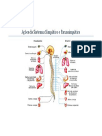 Ações Do Sistema Simpatico e Parassimpatico