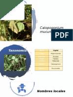 Calopogonium mucunoides