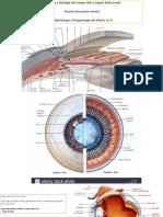 Anatomia Ojo, Glaucoma, Cuerpo Ciliar