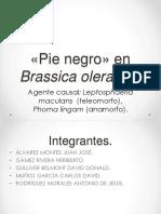 Pie Negro» en Brassica Oleracea
