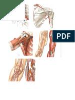 Arterias Venas y Nervios Del Miembro Superior