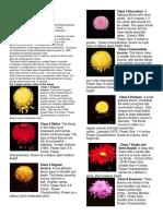 Chrysanthemum Classifications