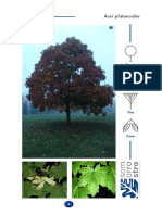 arce_real(acer_platanoides).pdf