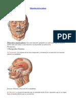 Músculos del Cuerpo Humano