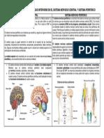 Cuadro Comparativo Partes Que Interviene en El Sistema Nervioso Central y Sistema Periferico