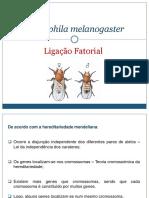 Drosophila Melanogaster (1)