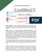 Minipreps, Tipos de Biotecnologia y Tipos de Promotores