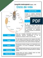 Ciclo de Vida drosophila melonagaster