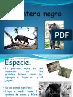 panteranegra-120415154603-phpapp02