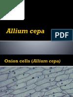 Allium cepa.pptx