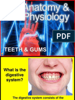 174 Anatomy Teeth and Gums