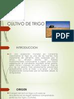CULTIVO DE TRIGO (Triticum).pptx