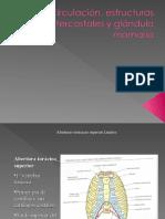 16.-Tórax circulatorio, muscular glandula mamaria