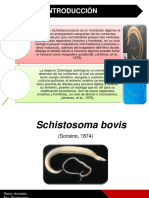 Schistosoma Bovis (1)