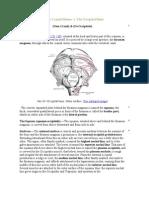 The Occipital Bone