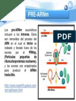PRE-ARNm