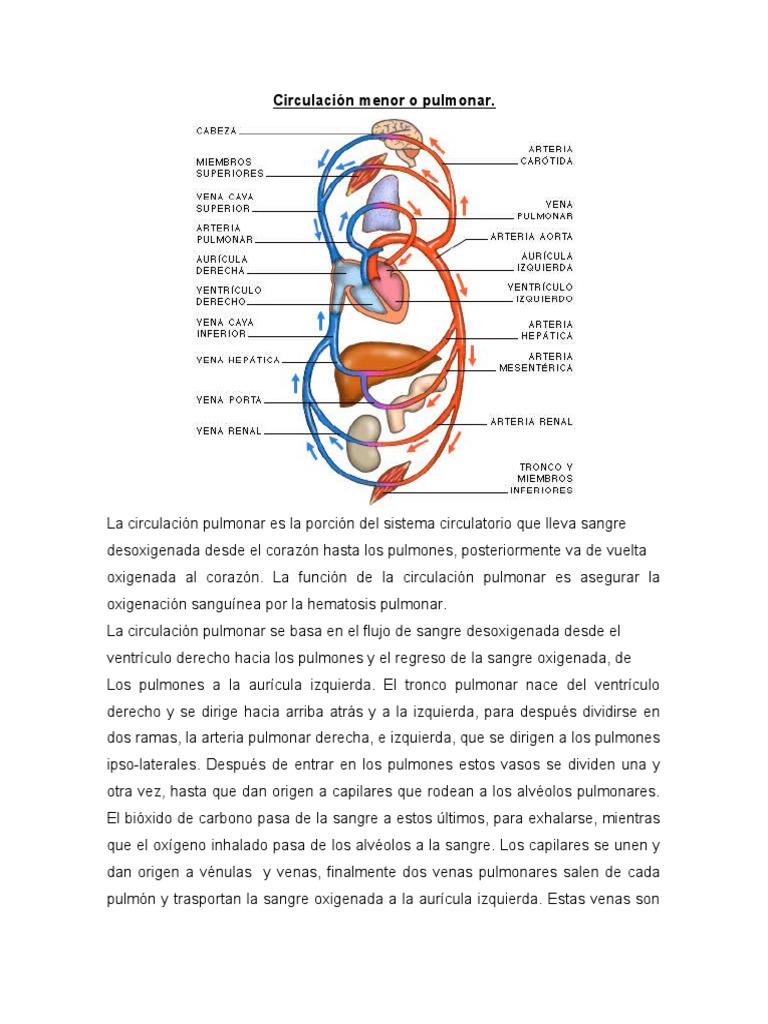 Circulación menor o pulmonar