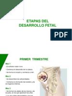 ETAPAS DEL DESAROLLO FETAL.ppt
