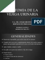 Anatomia de vejiga urinaria