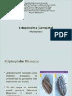 garrapata rhipicephalus