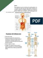 Función Del Sistema Digestivo