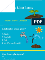planting  lima beans