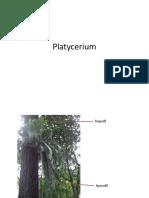 Plathyserium, Psilotum, Equisetum
