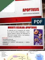 apoptosis