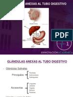Glándulas anexas al tubo digestivo