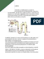 SEMINARIO 7 FISIOLOGIA RIÑON.docx