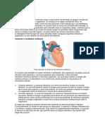 Anatomía corazon.docx