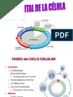 Ciclo Celular Mitosis Meiosis