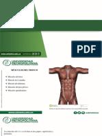Anatomía Exposición musculos