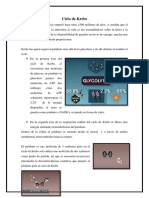 ciclo de krebs.docx final.docx