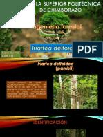 Iriartea Deltoidea